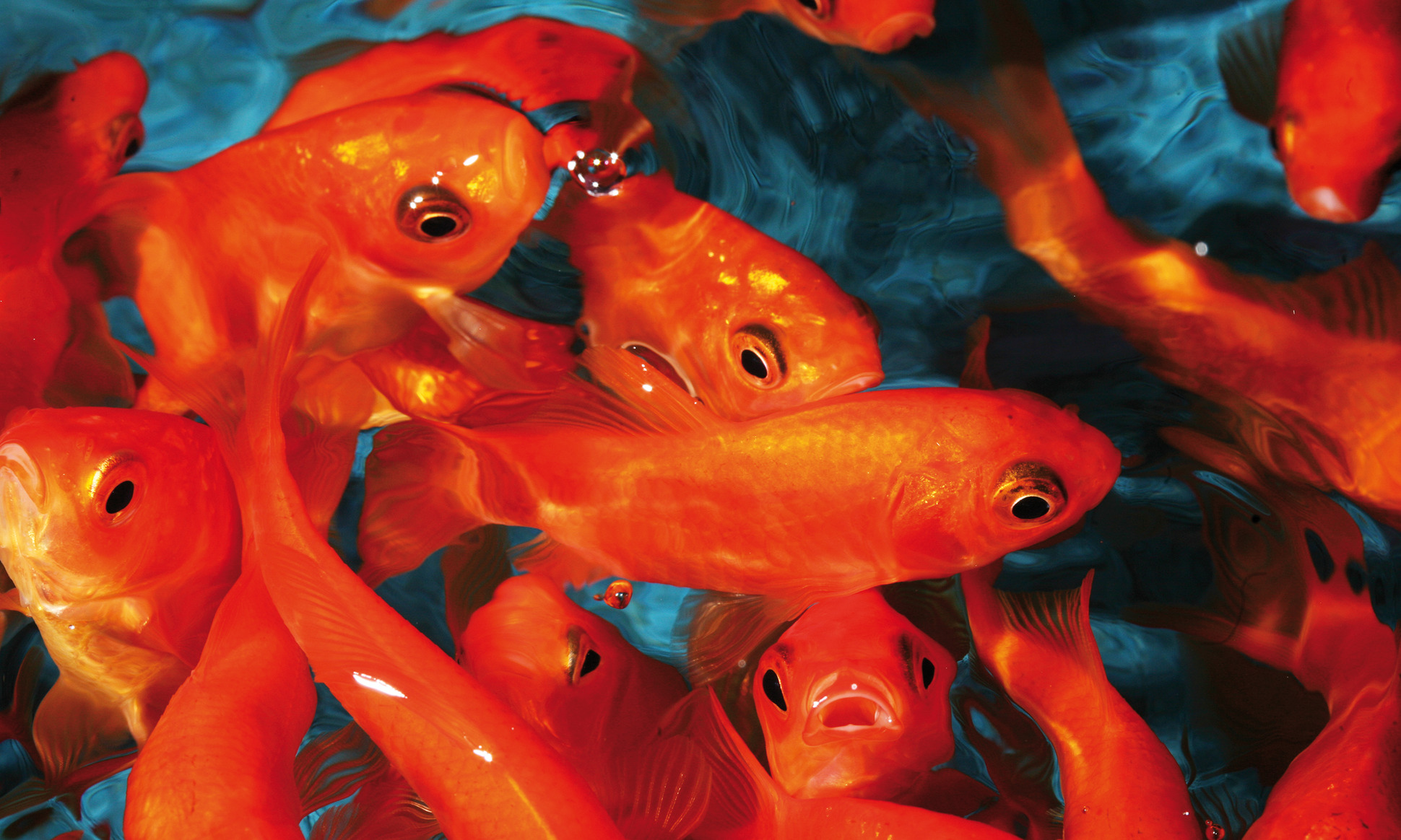 Identifying Fish Diseases In The Pond Before It\'s Too Late