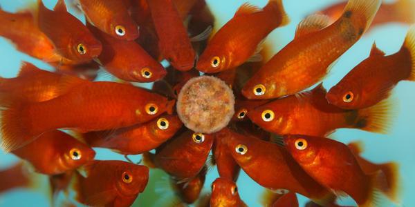 Alimentation des poissons for Peces alimentacion