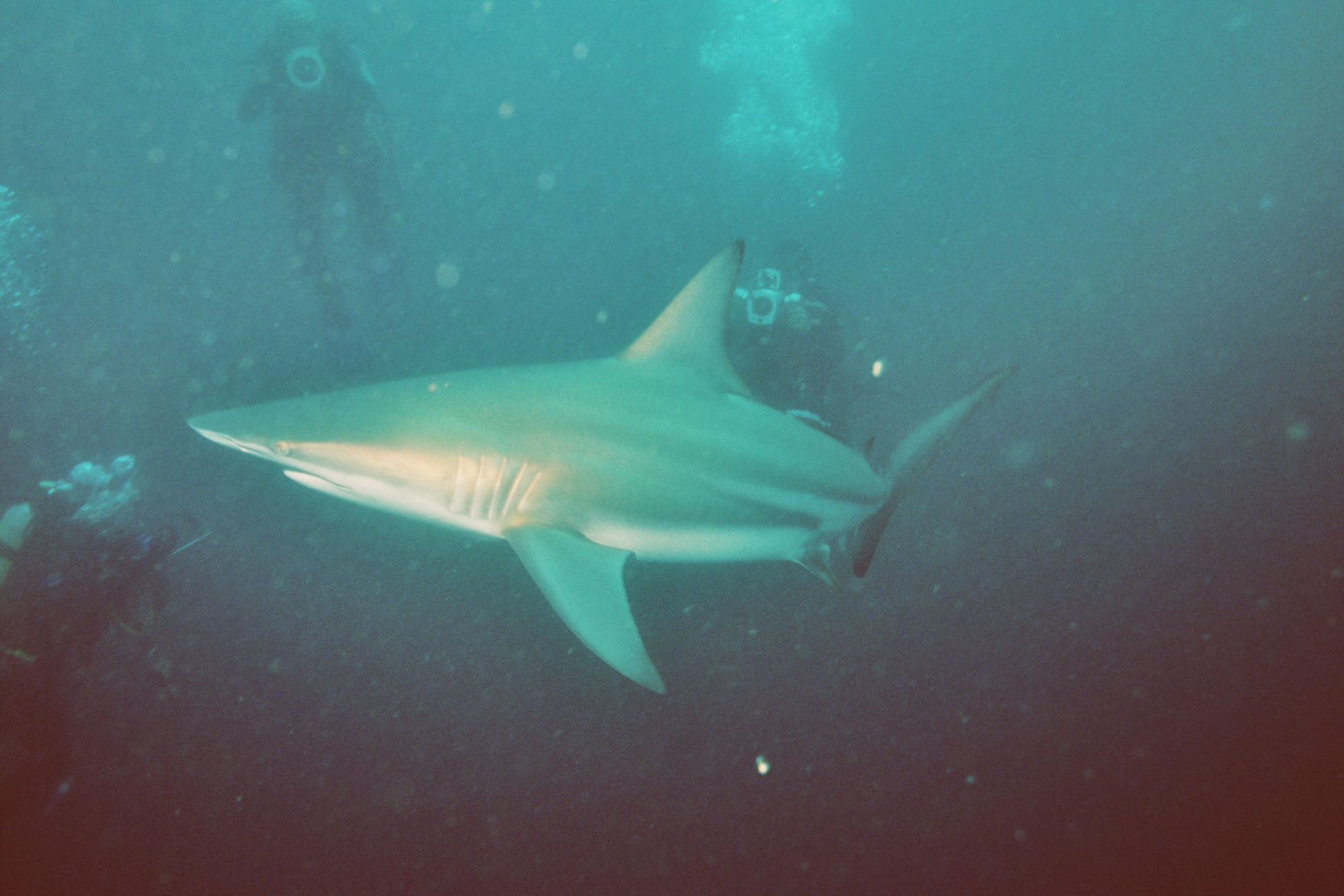 an overview of the tiger sharks in tropical waters and temperatures The biology of tiger sharks, galeocerdo cuvier, in shark size distribution, diet, and seasonal changes in temperature and were highest when water temperatures.
