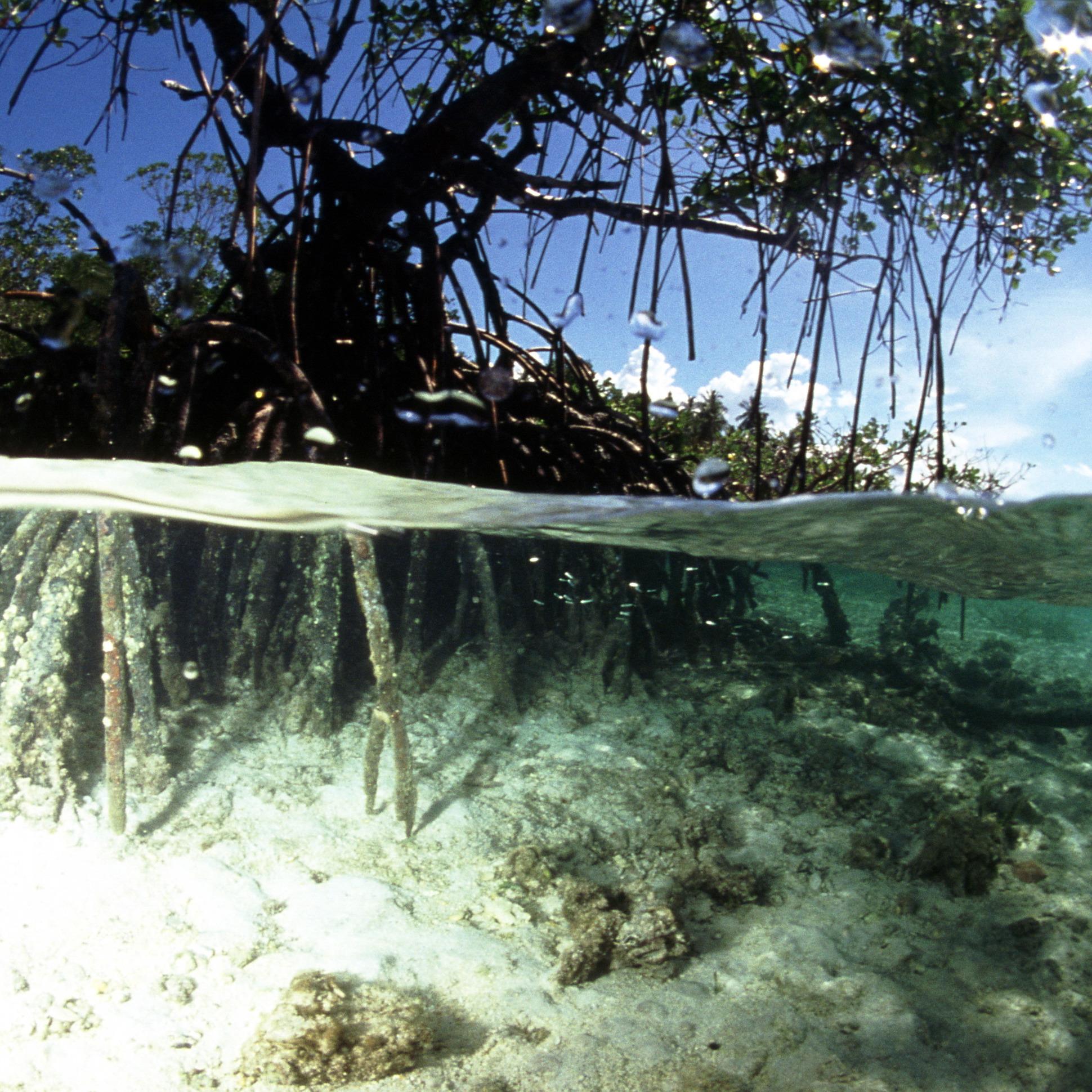 Jbl mangrove kökleri