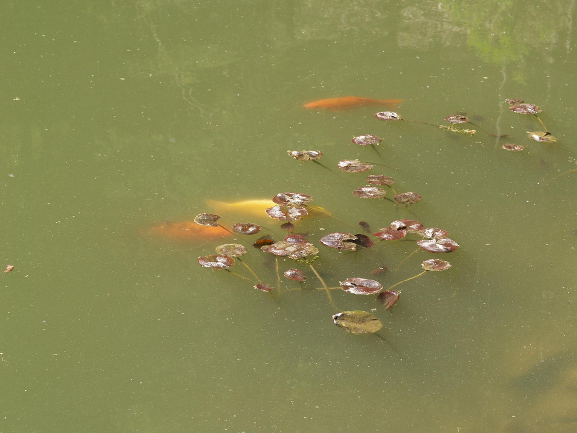 Schwebealgen im gartenteich mit jbl aquacristal uv c behandeln for Schwebealgen im teich