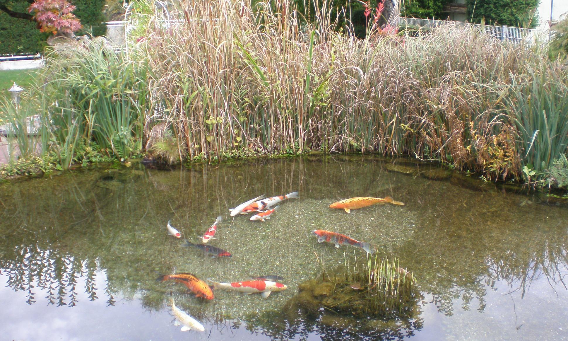 Seasonal pond care for Koi pond kh level