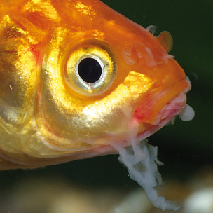 Identifying Fish Diseases In The Pond Before It S Too Late