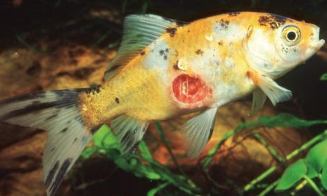Fischkrankheiten im teich rechtzeitig erkennen for Bilder teichfische