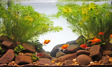 goldfisch aquarientyp jbl goldfish paradise. Black Bedroom Furniture Sets. Home Design Ideas