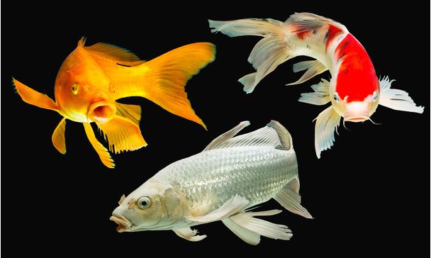 Gro e nachfrage wenig fisch der butterfly koi for Koi mit goldfischen
