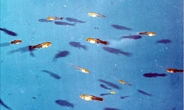 Podłączenie ryb