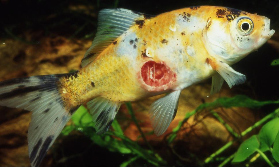 Fischkrankheiten for Aquarium fische im teich