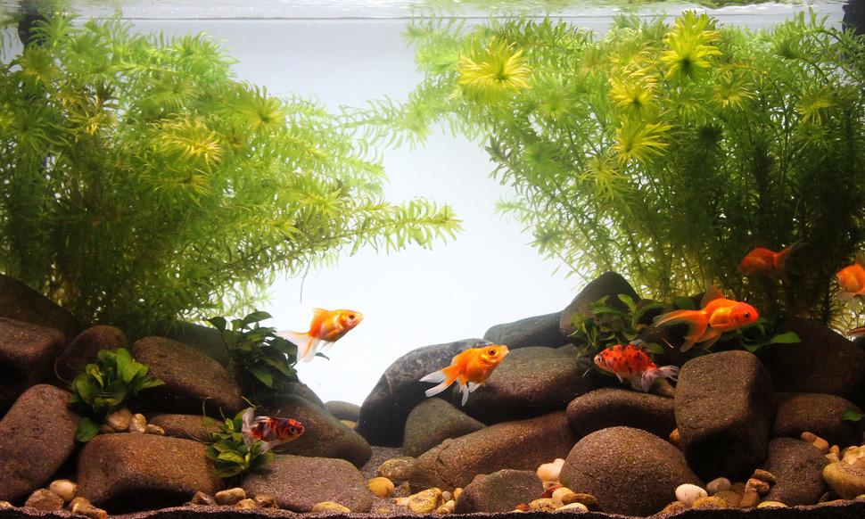 Goldfish Aquarium Type Jbl Goldfish Paradise